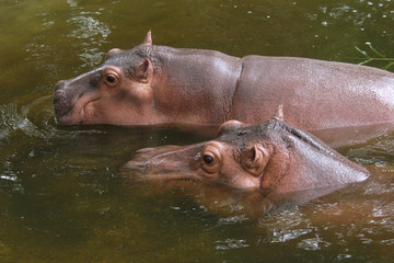 Two hippopotamuses (Hippopotamus amphibius)..