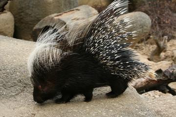Crested porcupine (Hystrix cristata)..