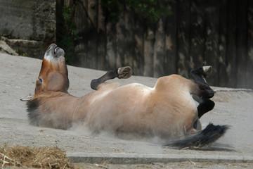 Przewalski's horse (Equus ferus przewalskii) rolling in dust.