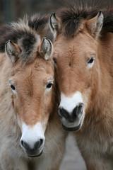 Two Przewalski's horses (Equus ferus przewalskii).