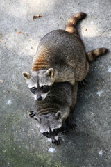 Two common raccoons (Procyon lotor) having sex.