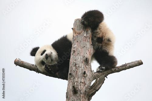 In de dag Panda Giant panda cub (Ailuropoda melanoleuca).