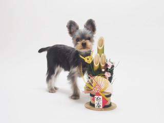 門松とヨークシャテリアの子犬