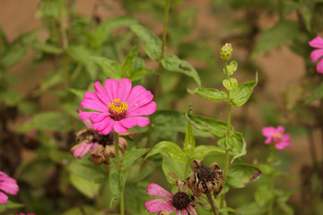 Pink Zinnia in the garden