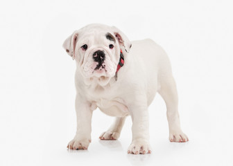 Dog. English bulldog puppy on white background
