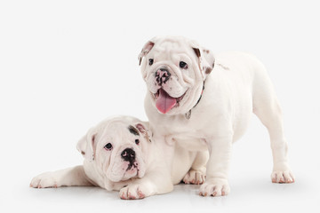 Dog. Two English bulldog puppies on white background