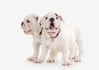 Dog. Two English bulldog puppies on white background
