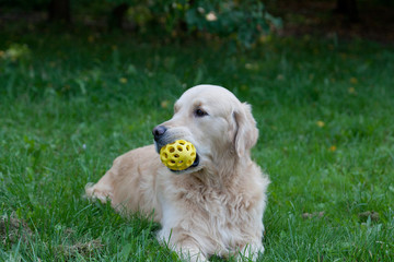 Golden retriever lies on a grass and holds a toy in teeth