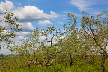 Small olive grove under the blue sky. Italy