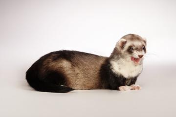 Smiling ferret posing in studio