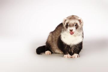 Lovely ferret posing for portrait