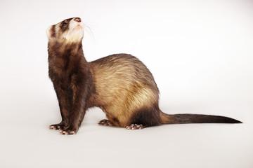 Nice brown ferret in studio