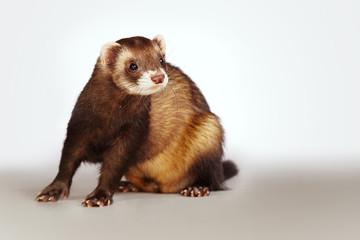 Nice ferret posing on background