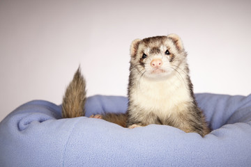 Male Ferret portrait in studio