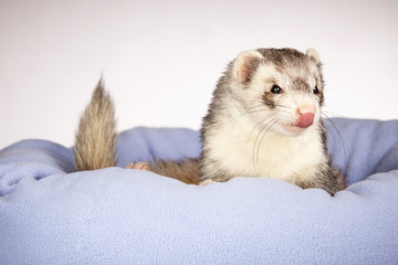 Ferret looking from bed