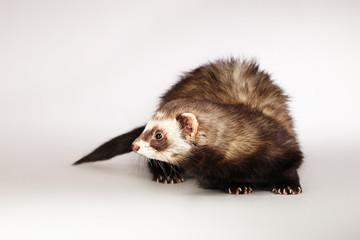 Lovely ferret posing in studio
