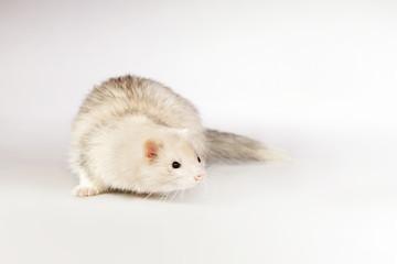 Silver ferret on background