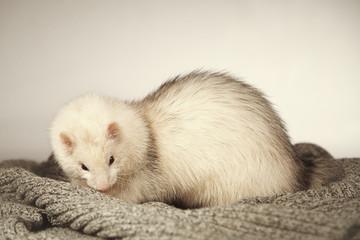 Posing ferret in studio