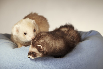 Two ferrets in bed