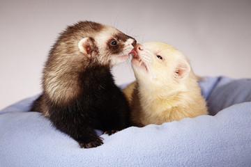 Kissing ferrets