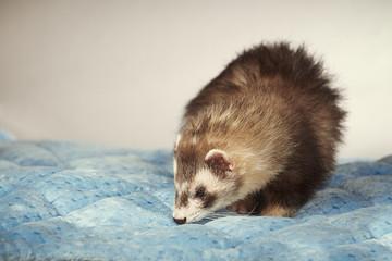 Nice ferret male portrait in studio