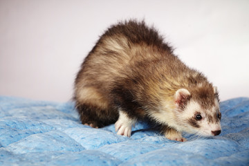 Nice ferret male in studio