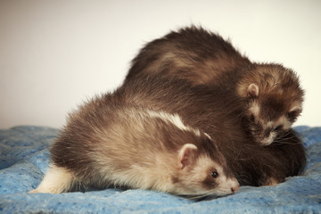 Game of two ferrets