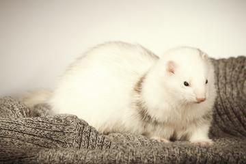 Lovely white lady ferret in studio