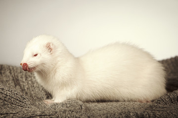 Albino ferret posing for portrait