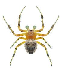 Spider Araneus angulatus (male)