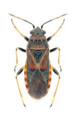 Bug Arocatus melanocephalus