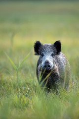 Boar in a clearing, in the wild