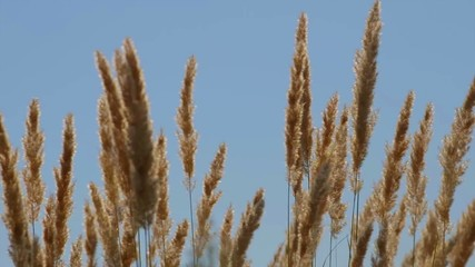 spikelets moving on wind