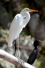 Egret bird