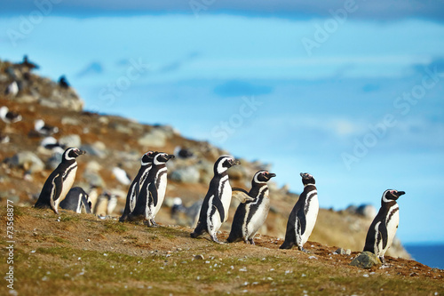 In de dag Pinguin Magellanic penguins in natural environment
