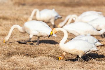 Whooper swans grazing