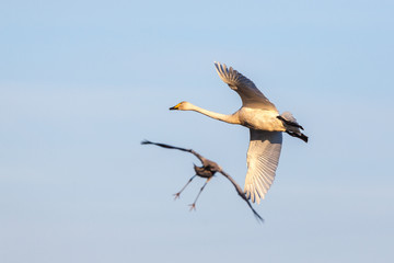 Whooper Swan and crane