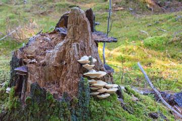 Polypore mushrooms a tree stump