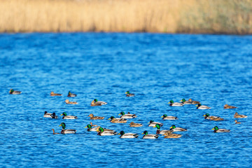 Flock of mallards and little grebes birds