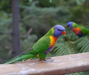 Rainbow lorikeet in a garden in Sydney in Australian