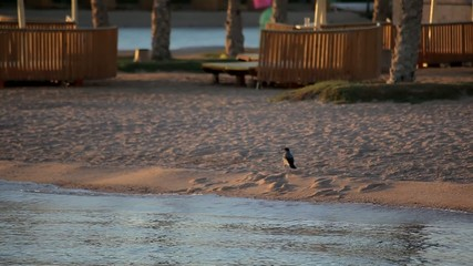 crow walks along the beach with the business view