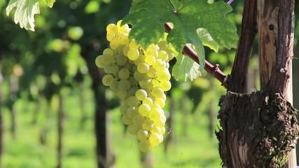 Wein - 010 - Traube - weiss