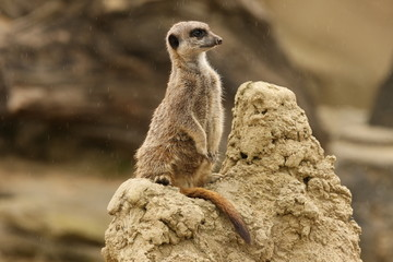 Close up of a Meerkat on guard