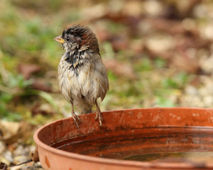 Young House Sparrow just after a bath