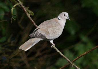 Portrait of a Collared Dove