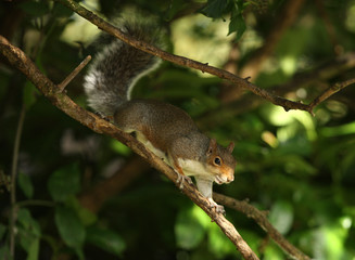Grey Squirrel playing in the trees