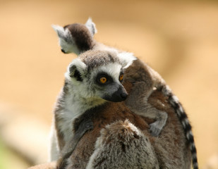 A mother Ring Tailed Lemur carrying her baby