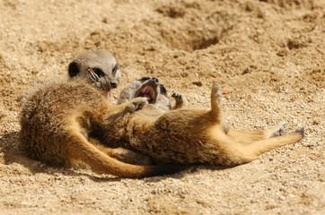 Two cute young Meerkats playing