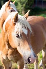 zwei Pferde auf einer Koppel