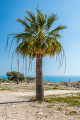 Cyprus - California fan palm, Washington Filifera at Kourion
